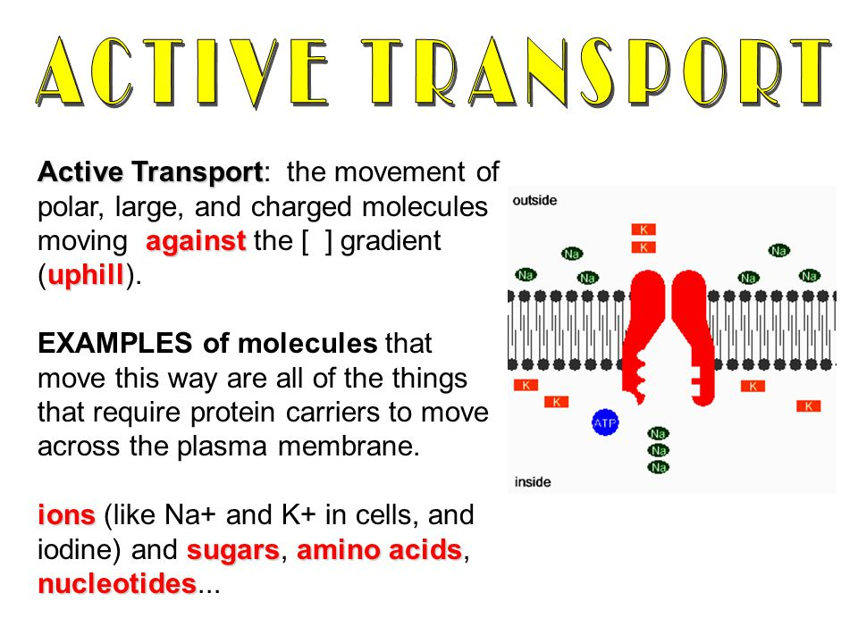 ACTIVE TRANSPORT Active Transport: the movement of polar, large, and charged molecules moving against the [ ] gradient (uphill).